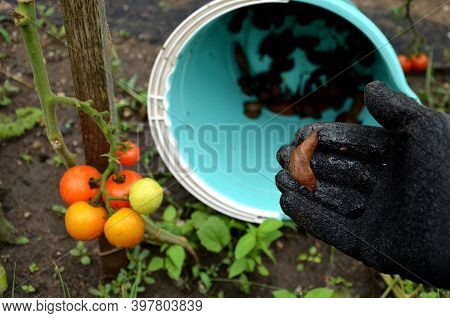Collecting Brown Rusty Orange Spanish Snails From A Vegetable Garden Where Their Invasion Damages Th