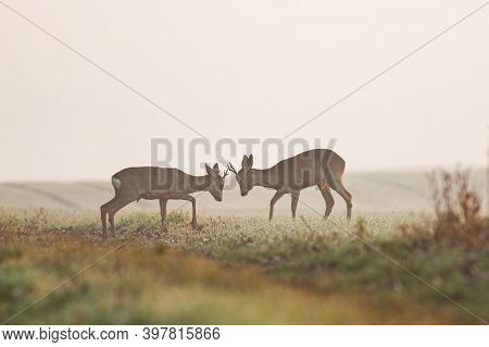 Two Roe Deer Bucks Standing Against Each Other During Territorial Duel.
