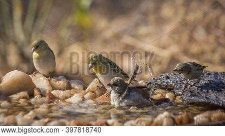 Southern Grey Headed Sparrow And Village Weave Bathing In Waterhole In Kruger National Park ; Specie