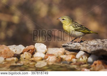Village Weaver Standing At Waterhole In Kruger National Park, South Africa ; Specie Ploceus Cucullat