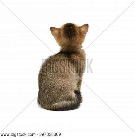 Gold Ticked Kitten British Chinchilla Straight Sitting Back On A White Background Isolated