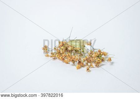 Dried Linden Tree On A White Background. A Bunch Of Dried Linden. Healing Herbs.