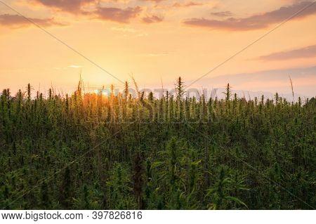 Field Of Industrial Hemp. Cannabis Sativa Growing Farm.