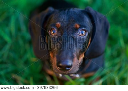 Black And Brown Dachshund Sitting On Green Grass