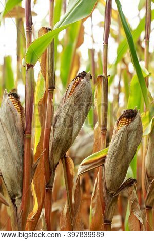 Corn On A Stalk In A Field