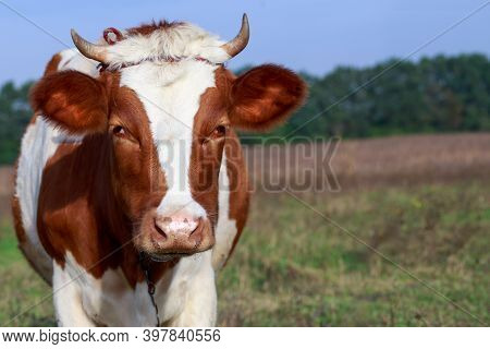 The Cow Grazes In A Green Meadow