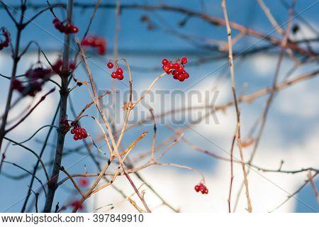 Ripe Viburnum Berries On A Branch On A Sunny Autumn Day (viburnum Opulus). Selective Focus