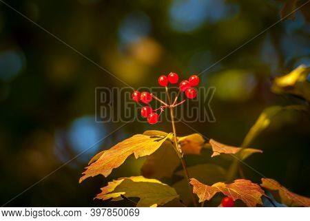 Ripe Berries Of Viburnum (viburnum Opulus) On A Branch On A Sunny Autumn Day. Close-up On The Backgr