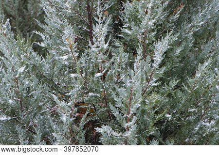 Winter Background, Branches Of Green Bush In The Snow. Green Christmas Trees In A Winter Park Covere