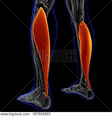 Soleus Muscle Anatomy For Medical Concept 3D Illustration