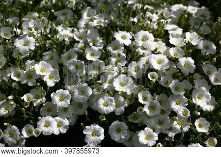 Bright Summer Sunny Day After A Rain. It Is Dazzling White Damp Flowers Of A Carnation Merge A Conti