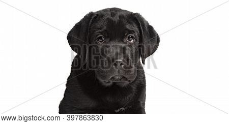 Newfoundland Puppy Dog Isolated On White Background Looking Directly Into The Camera