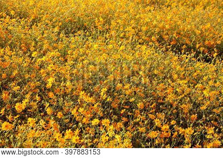 In Selective A Big Bed Of Yellow Cosmos Flower Blossom And Growing On A Land
