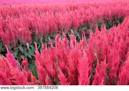 In Selective Focus A Line Of Sweet Pink Celosia Or Plumed Celosia Orwool Flower Or Red Fox Growing I