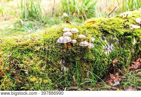 Gray Toadstool Mushrooms Growing In The Moss On The Fallen Tree