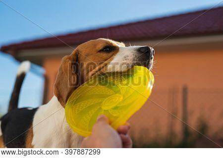 Tug Of War With Beagle Dog In Backyard. Canine Theme.