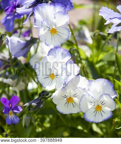 Pansy Flowers On A Close-up In A Flower Garden Design. Hybrid Violet Or Viola During Summer Flowerin