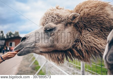 Close Up Of Funny Bactrian Camel In Karelia Zoo Eating Carrots From The Hands Of Visitors. Hairy Cam