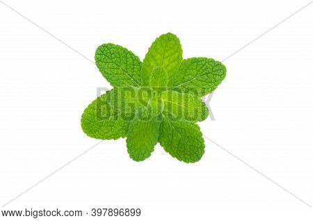 Mentha Or Peppermint Downy Leaves. Mint Branch Isolated On White.
