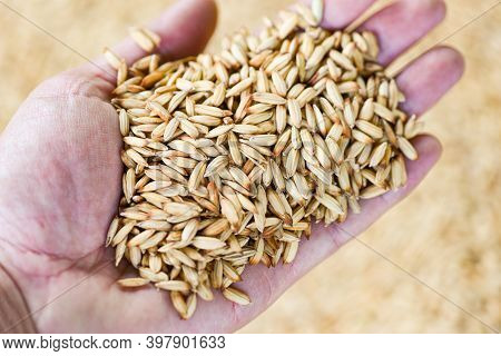 Paddy Rice In Hand Farmer, Dry Seed Rice Organic Paddy Agricultural Products From In Thailand Asian