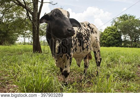 One Cattle Posing For Camera On A Green Pasture. The Bovine Is Black And White And Is Standing In Th
