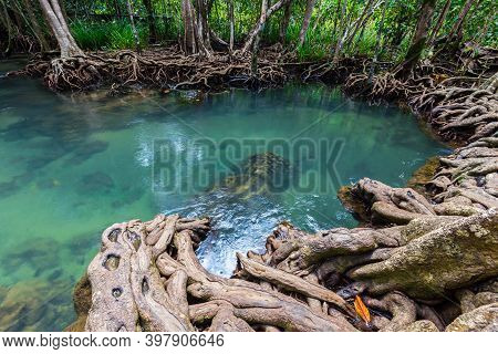 Tropical Tree Roots Or Tha Pom Mangrove In Swamp Forest And Flow Water, Klong Song Nam At Krabi,thai