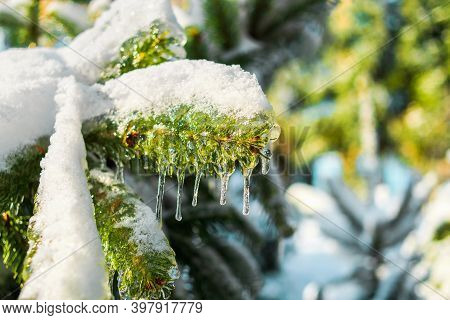 Spruce Branch Is Covered With Sparkling Snow And Ice. Shiny Icicles On A Fir Tree. Cold Frosty Morni