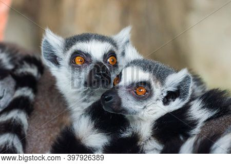 Ring-tailed Lemurs Closeup Portrait, A Large Gray Primate With Golden Eyes. Flock Of Animals