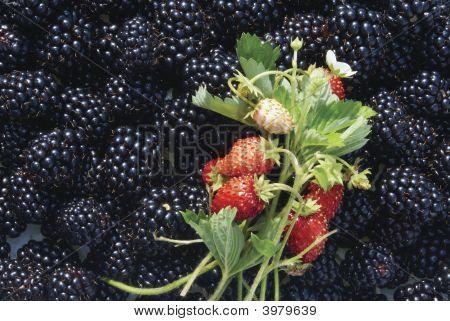 Blackberry Wild Strawberry