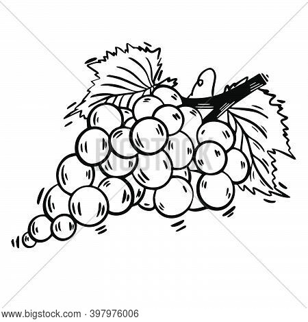 Hand Drawn Grape Sketch Illustration Black And White Vector Illustration. Vector Line Monochrome Ske