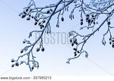 Abstract Natural Winter Background With Frozen Branch And Alder Cones. Frosty Twig, Minimalistic, Be