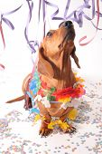 An isolated dachshund on a white background enjoying the Carnival party. poster