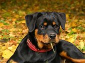 Cute 5 month old rottweiler pup lying on the ground in the forest in autumn poster