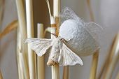 silk moth coming out of a cocoon on straws poster