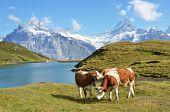 Cows in the Alpine meadow. Jungfrau region, Switzerland poster