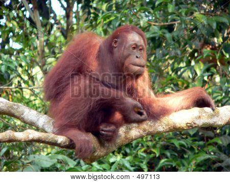 young wild orangutan, central borneo poster