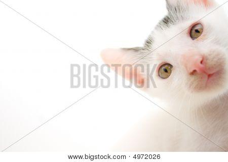 Kitten Closeup Isolated