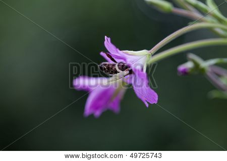 Bee collecting nectar on a flower - macro shot poster