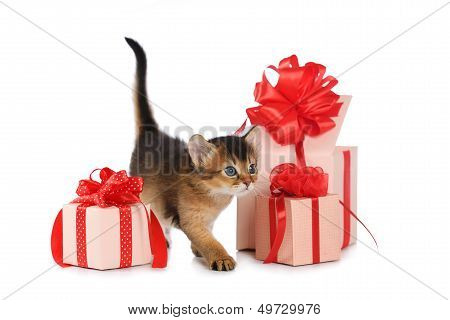 Cute somali kitten stay near a present box isolated on white background poster