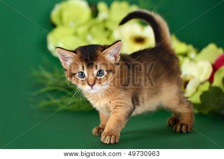 Cute Somali Kitten On The Green Background