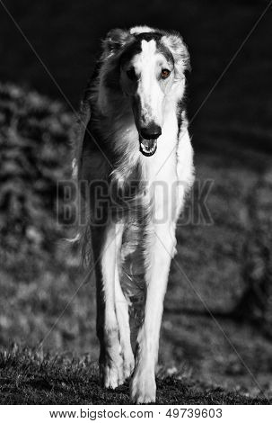 large Russian Borzoi hound, monochrome effect