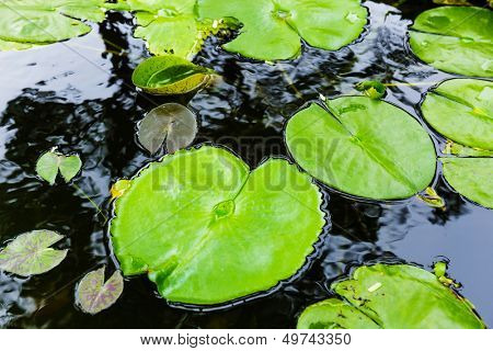 Bright green lilly pad on pond poster