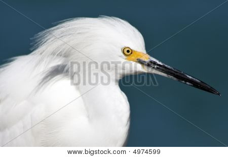 Closeup of a Snowy egret in Florida poster
