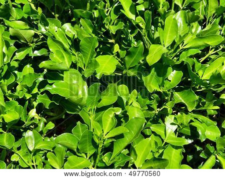 Background Of Green Leaves