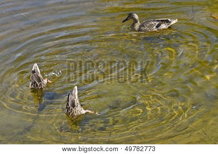 Duck And Two Dived Duckling