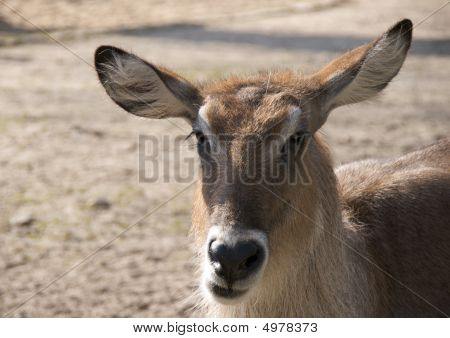 Defassa waterbuck