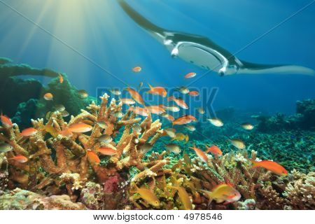 poster of Underwater landscape with tropical fishes and manta ray. Borneo