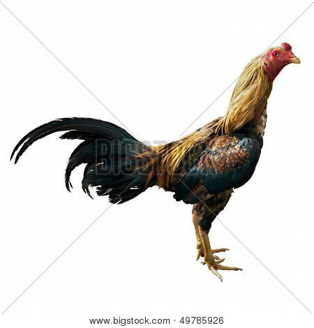 Thai Fighting Cock Right Side On White Background