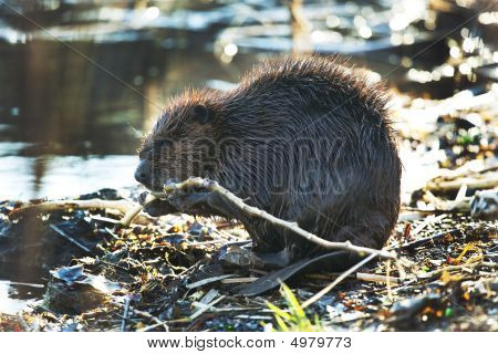 Beaver Eating Branches