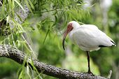 white ibis (eudocimus albus) resting on one leg.  shot at brazos bend state park, texas, near houston. poster